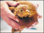 Robert Grillo picks up a rescued chicken from Niles Animal Hospital in Niles, Ill.