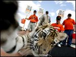 Supporters of the football team at Washington High School in Massillon, Ohio, collect donations at the high school's Paul Brown Tiger Stadium in September, 2006 to care for a tiger cub leased to serve as the team's mascot,