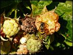 A yellow jacket is attracted to the sweetness of a golden raspberry. The aggressive insect helps clean up debris.