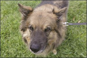 Austrian and German Shepherd mix Juneau awaits his walk with Ma & Paws Pet & House Sitting.