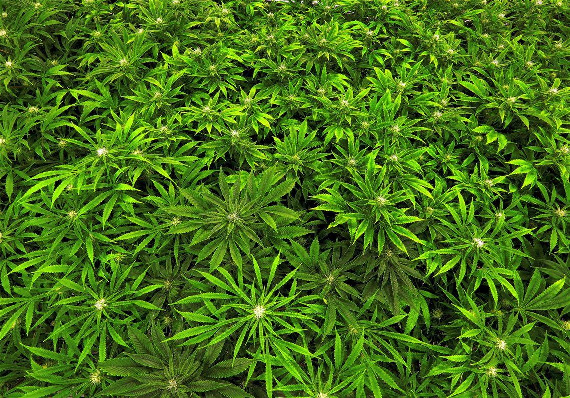 Как делать план из марихуаны сколько конопля держиться