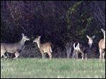 Ottawa Hills voters will decide whether to authorize a controlled bow hunt to thin out the village's deer herd.