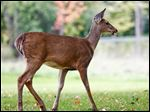 Biologists estimate that the deer herd in Ottawa Hills is twice what the 2.5-square-mile village can support.