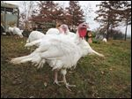 Pastured turkeys have the run of the Weber Ranch in Wayne, Ohio.