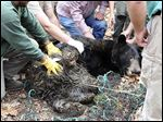A team steadies a tranquilized black bear that was trapped in Vinton County in November of 2015. The adult male is the first Ohio black bear to receive a radio collar.