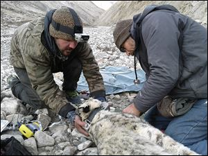Shannon Kachel, left, the study's principal investigator, and Ric Berlinski, Toledo Zoo senior veterinarian, radio-collar at snow leopard in Kyrgyzstan through a Panthera-supported conservation study.
