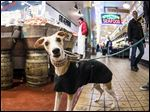 Above: Sammy, an 18-month-old Whippet, at Pike Place Market in Seattle.