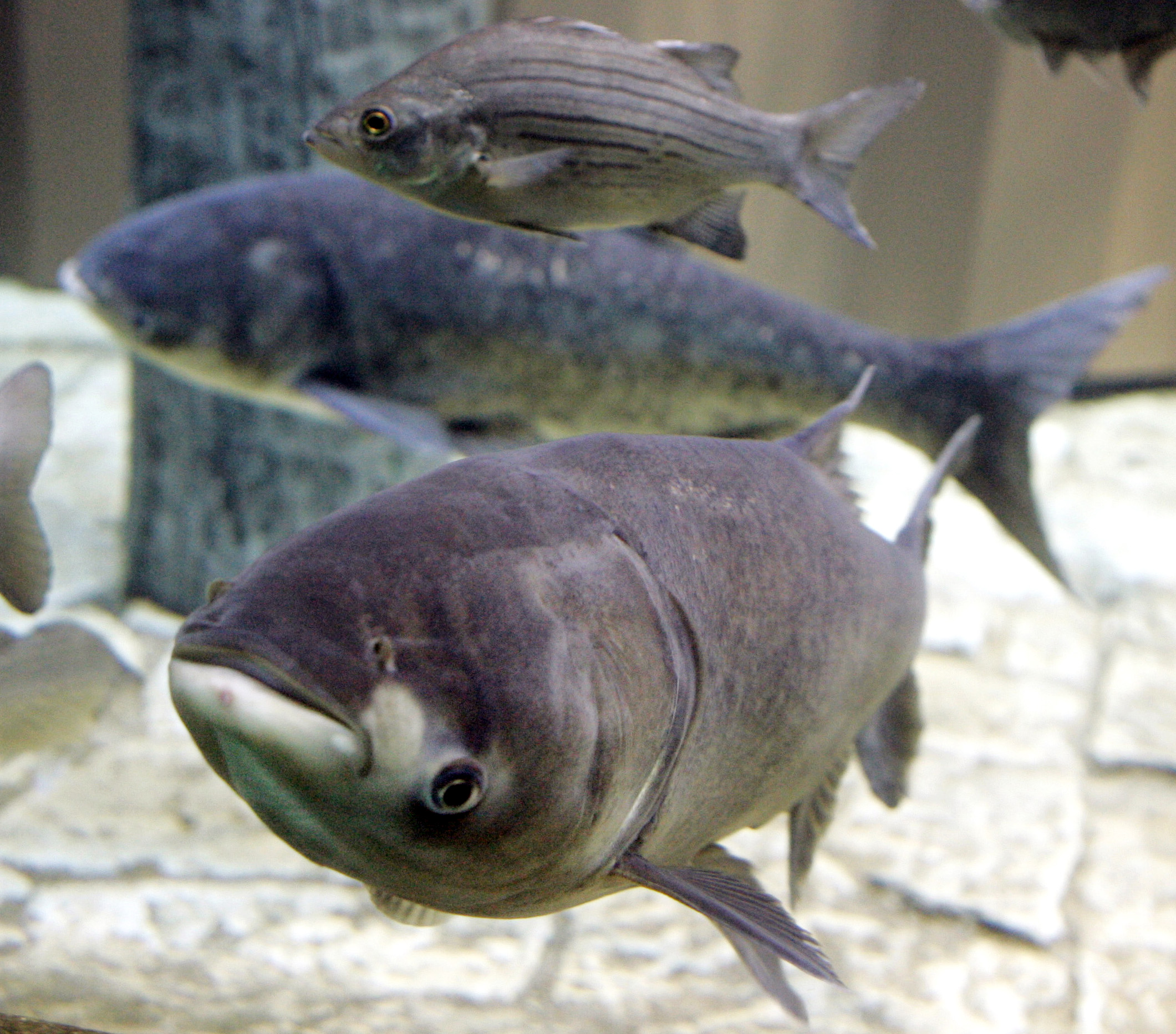 Asian carp threat