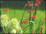 The crocosmia has numerous garden applications from the cottage to the tropical, and even as a partner to white hydrangeas