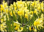 File photo of Golden daffodils at the Toledo Botanical Garden on Easter Sunday, April 20, 2014.