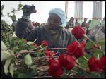 One of 600 workers at AAA Growers' Simba farm in Nyahururu, Kenya, picks roses. For this Valentine's Day, many flowers were shipped from Kenya, the fourth largest supplier in the world. Its cool climate and high altitude make it perfect for growing large, long-lasting roses.