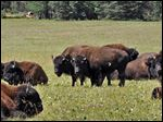This 2010 photo provided by the Kaibab National Forest shows bison in the national forest adjacent to the Grand Canyon in Northern Arizona. Grand Canyon officials are proposing to use sharpshooters, capture and other tools to reduce the number of bison in the national park.