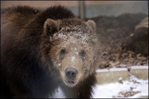Dodge was one of three Kodiak brown bears rescued in May. His brothers went to a zoo in Wisconsin. Dodge came to Toledo Zoo and has bonded with two female grizzlies.