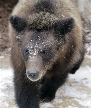 Toledo Zoo officials expect Montana, one of two grizzly cubs at the zoo, will go on public display with her sister Cody and their new pal, Dodge, this summer.