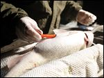 Biologist Chris Vandergoot inserts a tracking tag in this walleye along the Maumee at Orleans Park in Perrysburg.