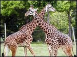 Giraffes on display in Africa! at The Toledo Zoo. Asha, a 1-year-old, died over the weekend after a fall.