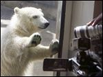 A yet-unnamed female polar bear cub gets a close-up from members of the media as she plays in an enclosure with her mother, Crystal, nearby at the Toledo Zoo.