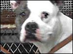 15179  I am a male, white and brown brindle Pit Bull Terrier.  My age is unknown.  I have been at the shelter since Apr 15, 2016.  Lucas County Care and Control NOT BLADE PHOTO DOG KILLS