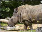 Lulu, 47, in her exhibit last July, was estimated to be the seventh-oldest white rhino among those in U.S. zoos.