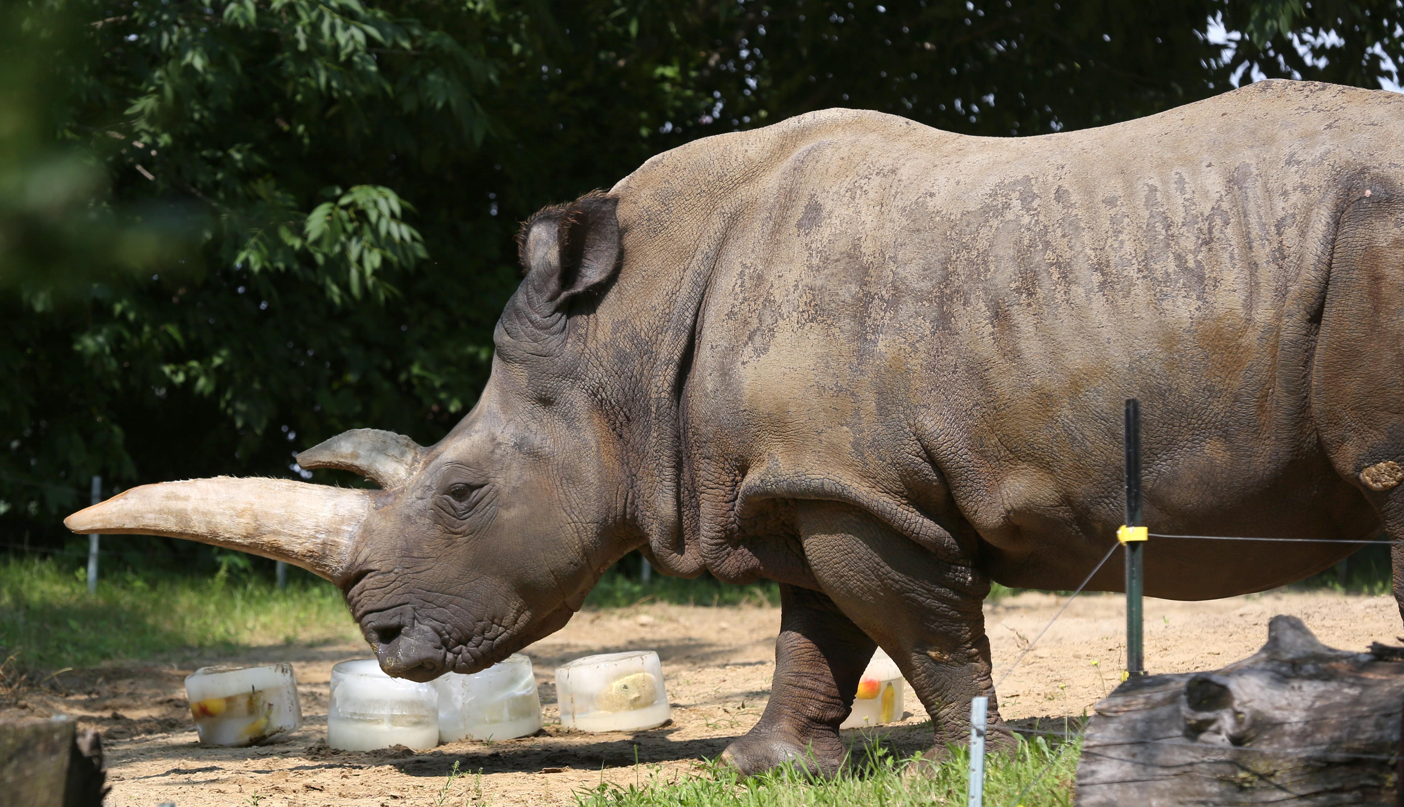 toledo zoo white rhinoceros lulu dies the blade
