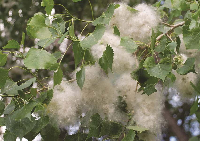 Achoo Allergy Season Blows Into Northwest Ohio The Blade
