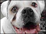 15241  I am a neutered male, white Boxer.  My age is unknown.   I have been at the shelter since Apr 21, 2016. Lucas County Care and Control NOT BLADE PHOTO DOG KILLS