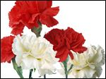 Red and white carnations sometimes recognize mothers, living and deceased, on Mother's Day.