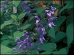 Tender salvias such as Black and Blue provide weeks of bloom from midsummer on.