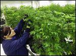 Ashley Thompson inspects marijuana plants inside the