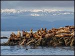 Steller sea lions bask in the early morning sun at Mitlenatch Island Nature Provincial Park beneath the mountains of Vancouver Island, B. C.