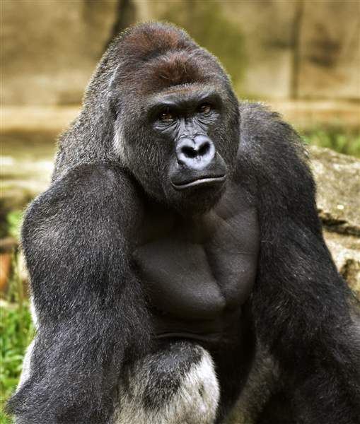Mom Won't be Charged in Cincinnati Zoo Gorilla's Death