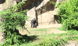 Cincinnati-Zoo-gorilla-exhibit-06072016