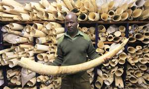 Zimbabwe-Ivory-Stocks-1