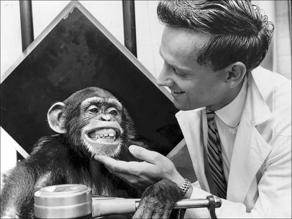 Monday Memories: Getting her picture taken is an auspicious occasion for any young lady, and Louise, a chimpanzee at the Toledo Zoo, reacts with a big smile. But the Blade's photographer was incidental to this scene. John Sinkovic, X-ray technician at St. Vincent's Hospital, shown with Louise, was at the zoo to X-ray several of the chimps. He'll use the film in a display later this month at the annual convention of the Ohio Society of X-ray Technicians, showing the similarity of X-rays of children and chimps. Toledo Blade file photo by Dick Greene dated Sept. 13, 1961
