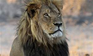 Africa-Cecil-the-Lion-12-28