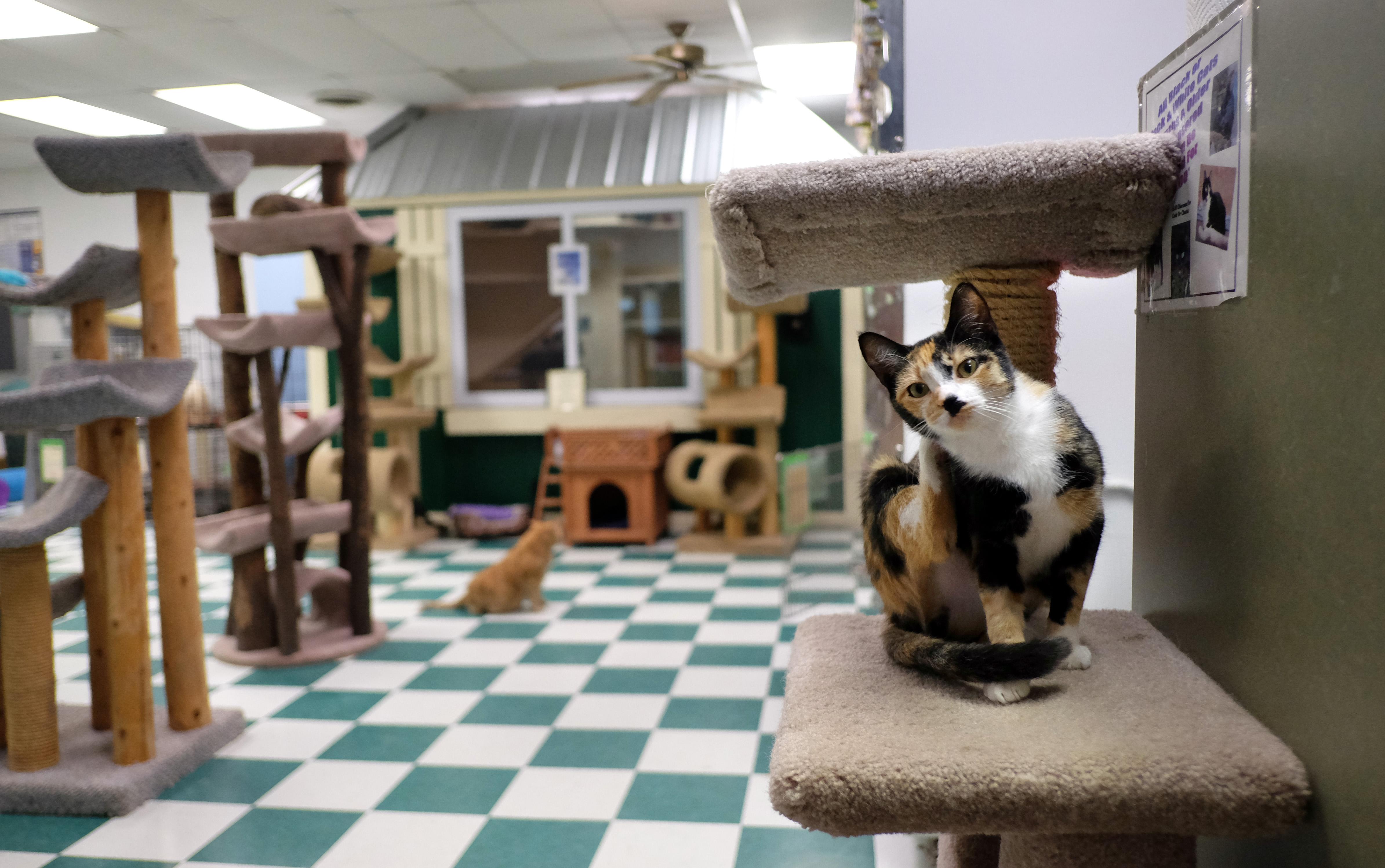 toledo cat shelter plans sunday event the blade