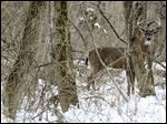 A buck Thursday, December 22, 2016, at Swan Creek Metro Park  in Toledo, Ohio.