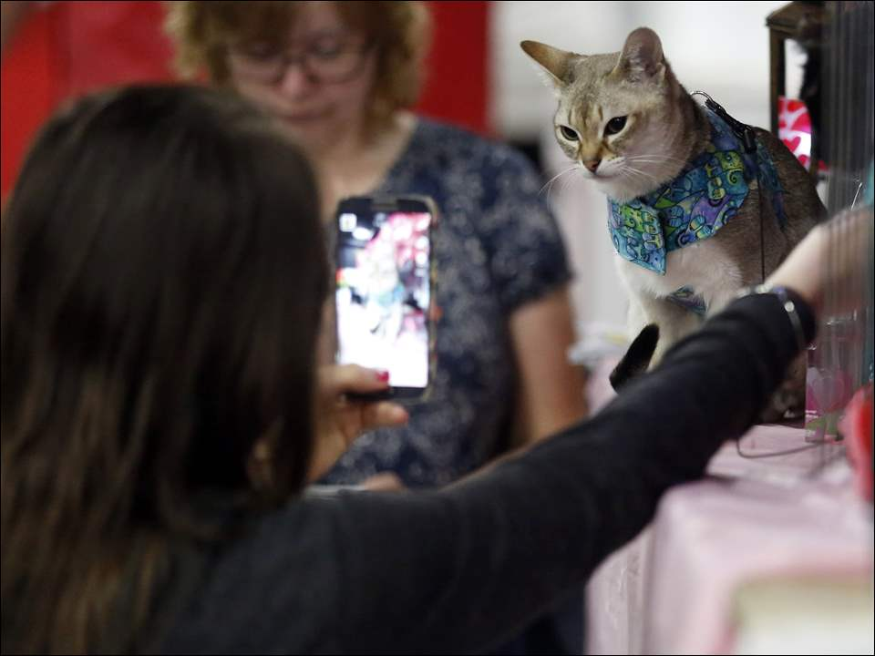 Terin Wright, of Windsor, takes a picture of her Singapura cat named Oliver during the Great Lakes Cat Consortium annual cat show at the Lucas County Recreation Center.