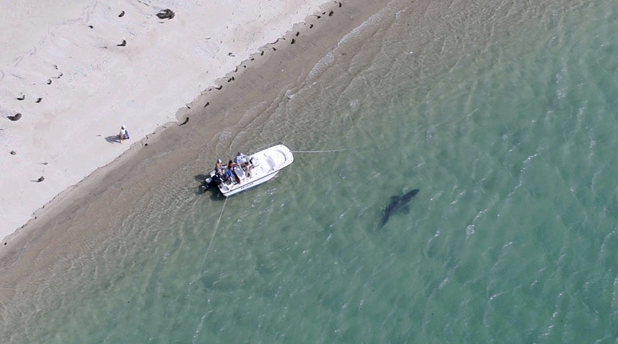 More Great White Sharks Appear To Be Visiting Off Cape Cod