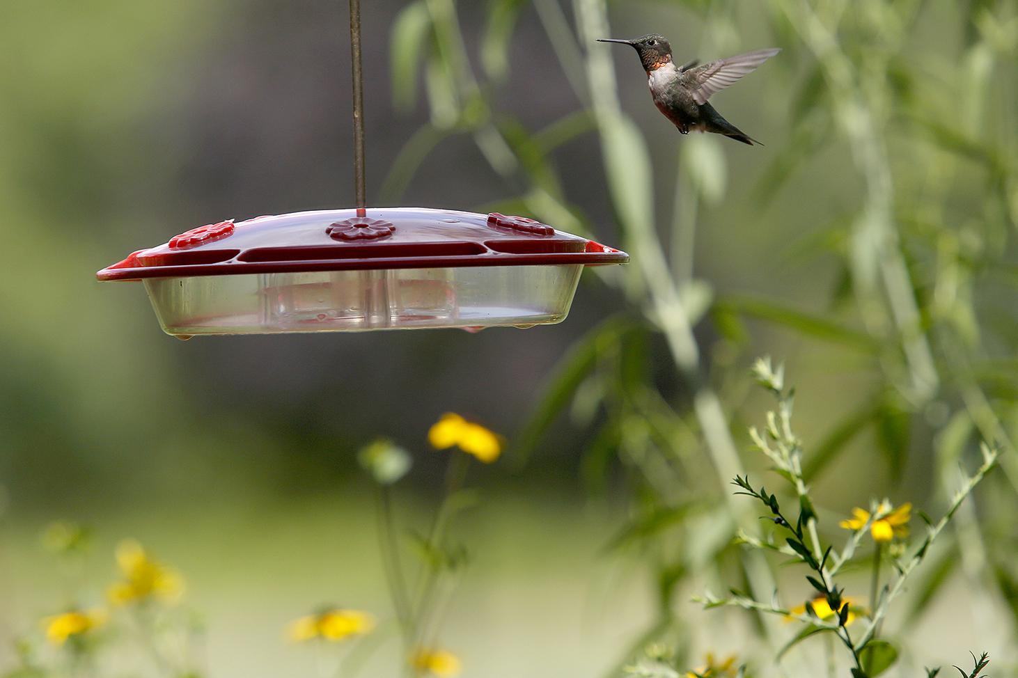 Tiny Hummingbirds Are True Marvels In Flight The Blade