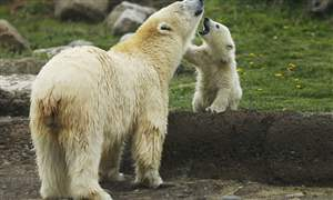 Zoo-Polar-Bear-Cubs