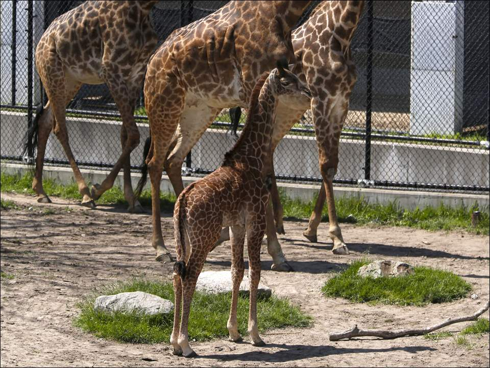 Kipenzi, a 7-week-old giraffe, stands still as her mother, Elli, center, and other giraffes walk around the Africa! exhibit at the Toledo Zoo in Toledo. At 215 pounds, the baby giraffe was available to the public today, and the giraffe feeding deck will be open soon.