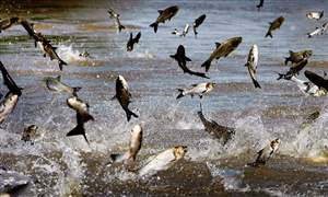 Asian-Carp-Great-Lakes-3