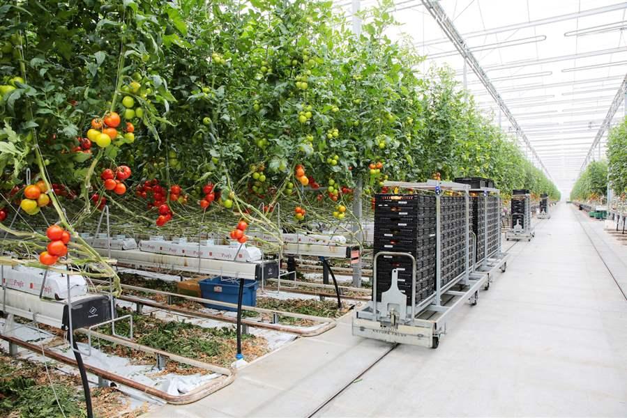 Build A Tomato House