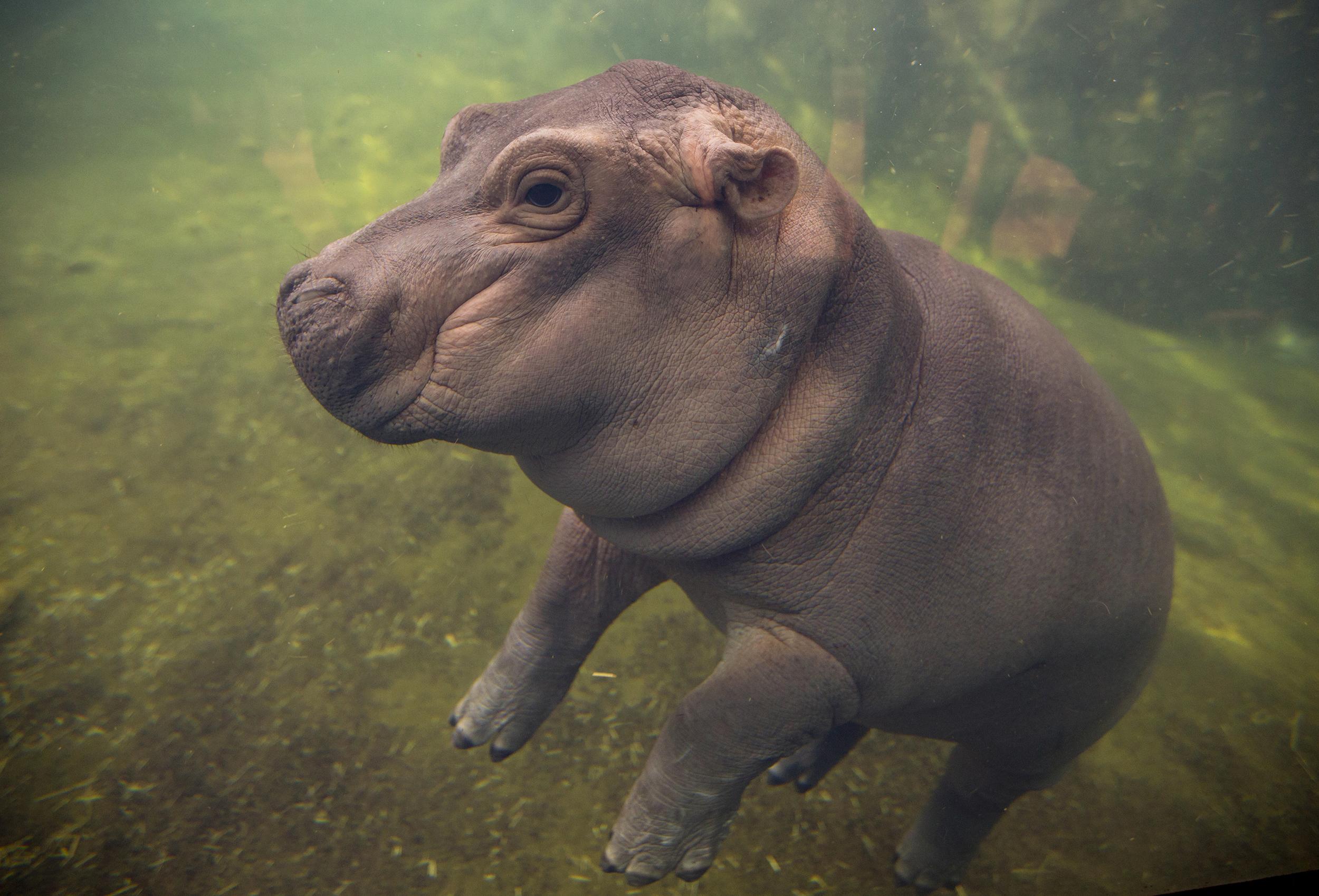 Cincinnati Zoo S Baby Hippo To Star In Facebook Video