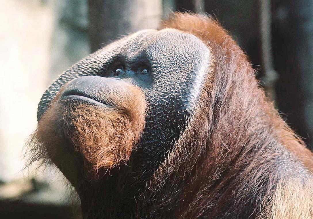 Toledo Zoo orangutan J.J. dies at 45 - The Blade