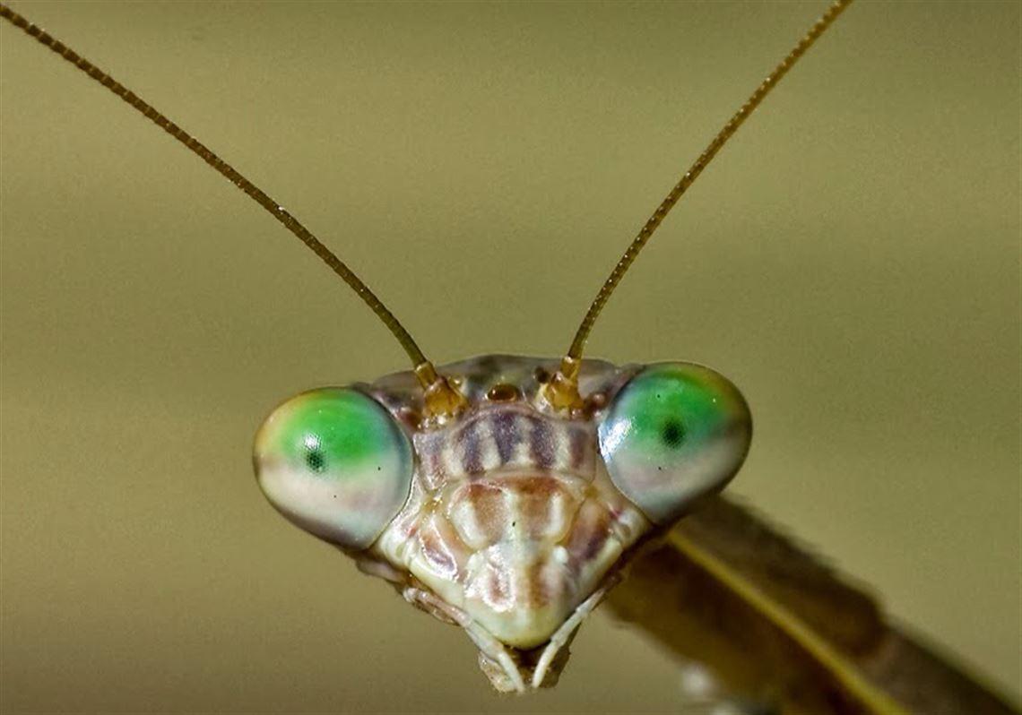 Alien Looking Praying Mantis Is An Eating Machine Toledo Blade