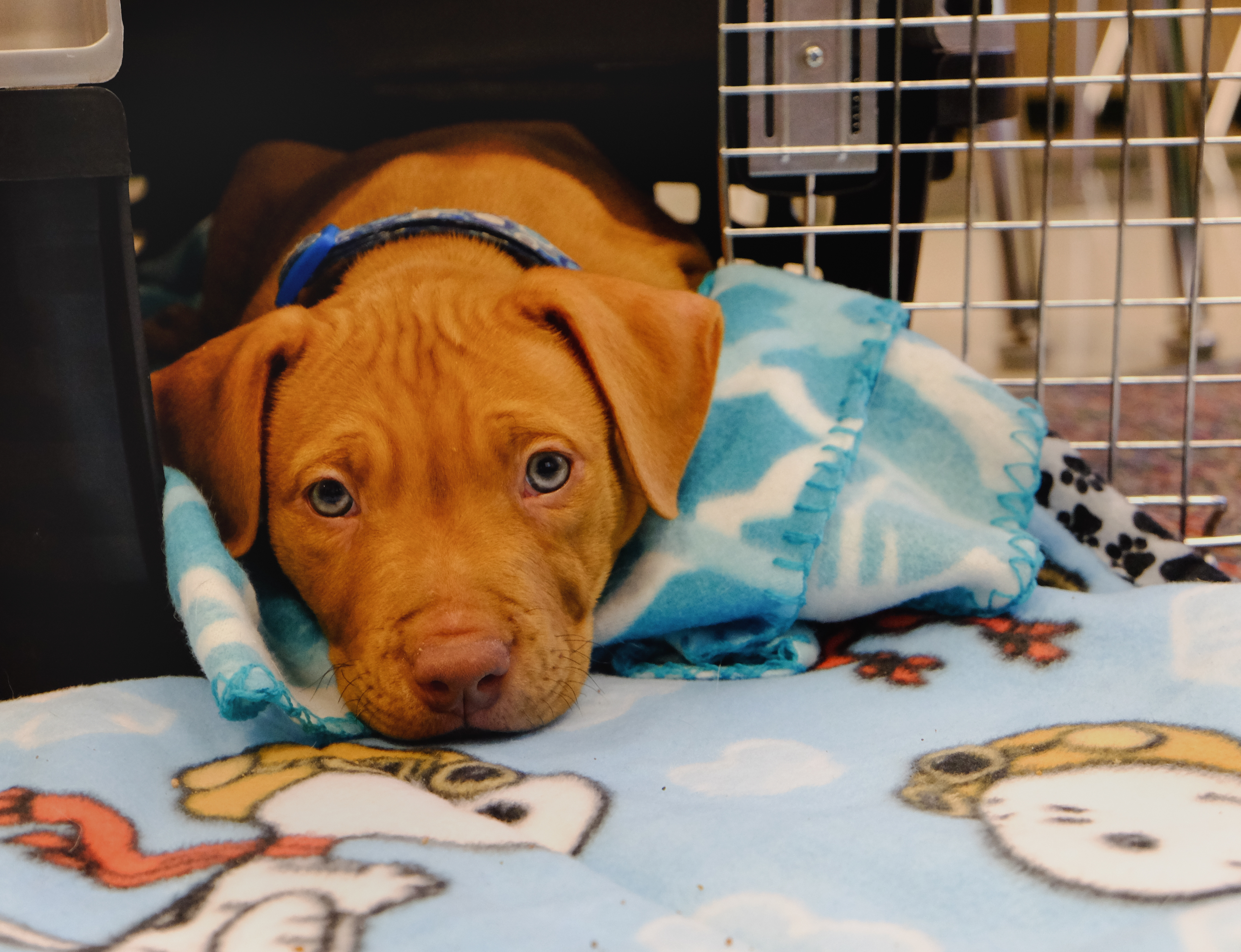 the issues with puppy mills Puppy mills and the law the most surprising thing to many people is that puppy mills are legal the standards governing the care of dogs and cats in commercial breeding facilities are set forth in the federal animal welfare act (awa.
