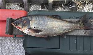 Great-Lakes-Asian-Carp-1
