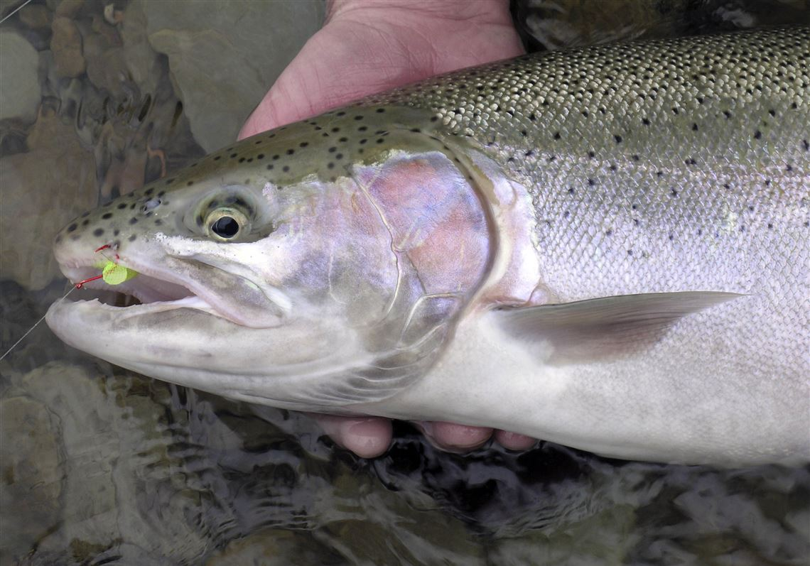 Steelhead an experiment that turned out just grand | Toledo